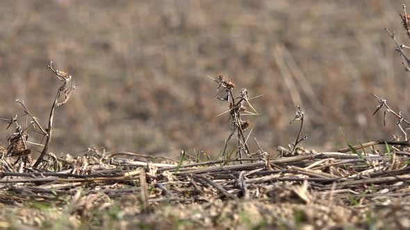 Thumbnail for Cut Dry Plant Stems in Soil of Agricultural Land Fallow After Harvest