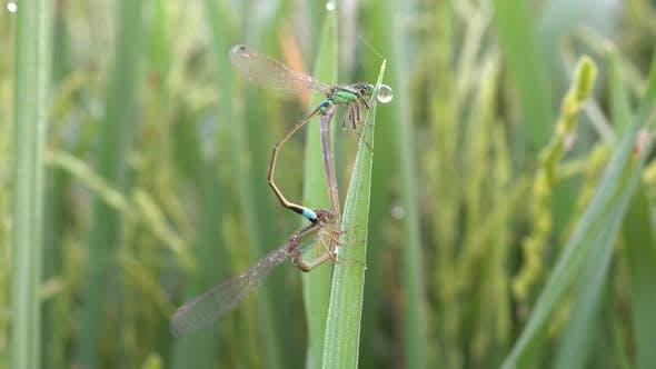 Thumbnail for Damselflies mating at paddy field.