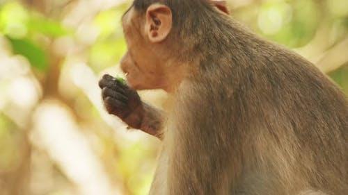 Goa, India. Bonnet Macaque - Macaca Radiata Or Zati. Close Up Portrait. Monkey Eats Leaves