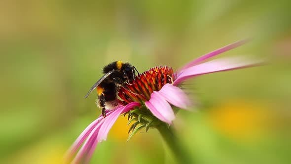 bumblebee on coneflower, background spring time