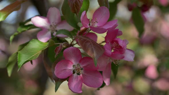 Thumbnail for Branch of Blooming Pink Apple Tree With Flowers in Spring Garden