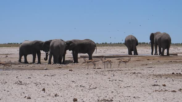 Herd of elephants and sprinbok at a dry savanna