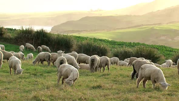 Thumbnail for Sheeps around Slope Point and Catlins Conservation Park