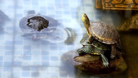 Cover Image for Animal Reptile Aquatic Water Turtle in a Water Pool