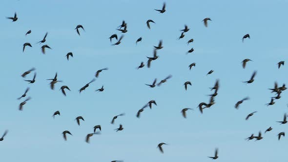 Thumbnail for Flock Of Birds Flying In The Background Of The Sky