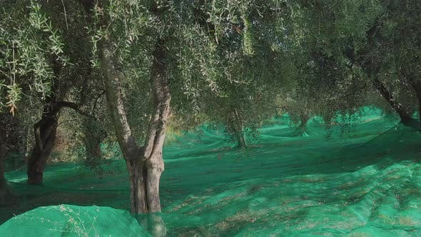Thumbnail for Olive Trees Agriculture Organic Cultivation