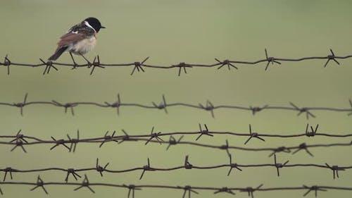 Bird Chisel Flycatcher