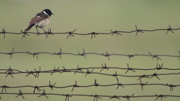 Moucherolle ciseau à oiseaux