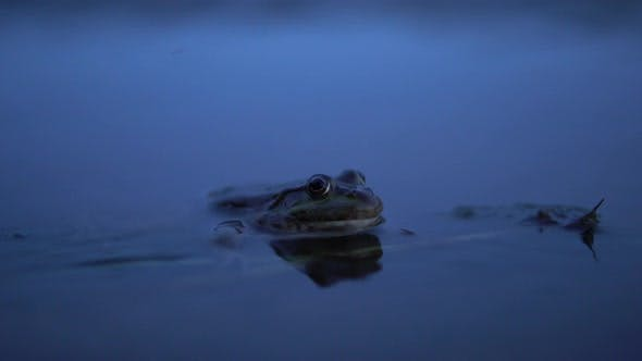 A Big Toad Sits in the Water