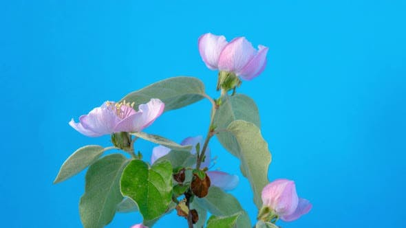 Quince Blossom Timelapse on Mint 2