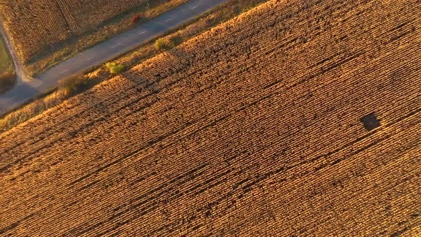 Thumbnail for Agricultural Field Ready for Harvest