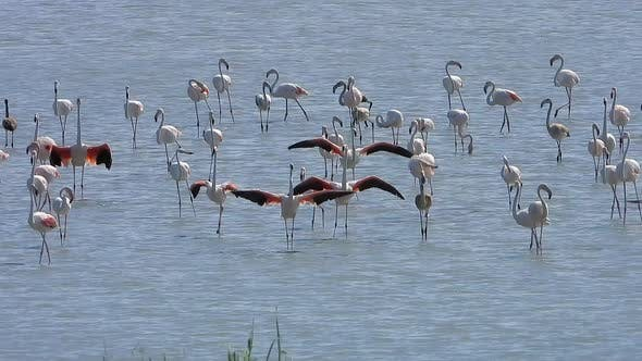 Wild Flamingo Birds in a Wetland Lake in a Real Natural Habitat