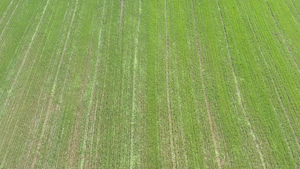 Thumbnail for Corn Zea mays field in the agricultural field 4K drone footage