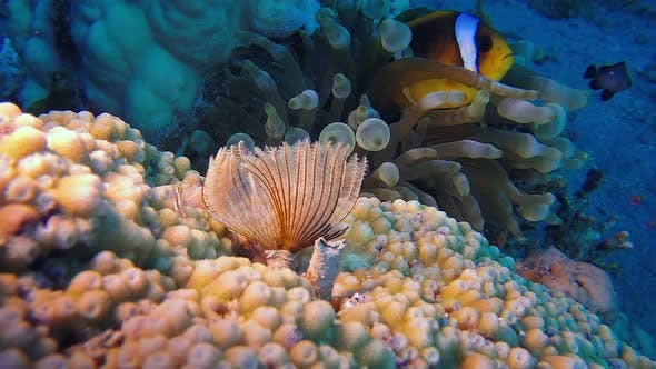 Tube Worm and Clownfish