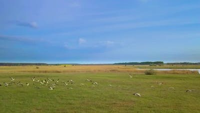 White Storks Fly Over Green Fields