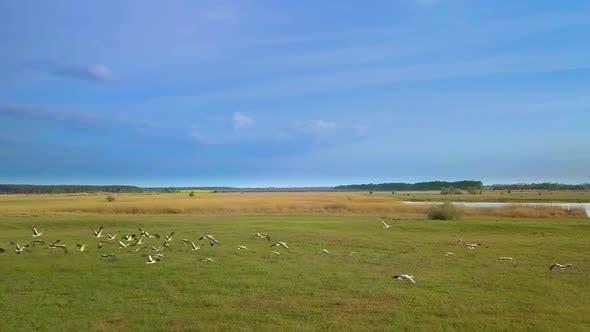Weißstörche fliegen über grüne Felder