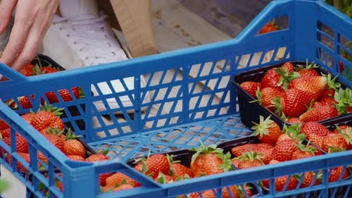 Close Up of Female Hands Arranging Boxes with Strawberries