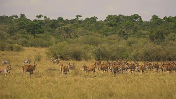 Common eland herd and zebras in Masai Mara