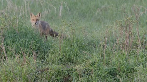 Red Fox Adult Lone Alarmed Spooked Frightened Running Fleeing in Spring