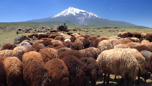 Thumbnail for Brown Sheep Herds on Ararat Mountain in Anatolia Turkey
