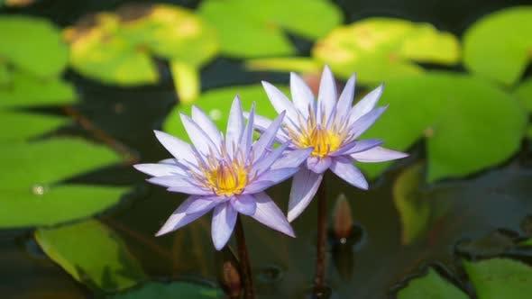 Thumbnail for Lotus Blossom