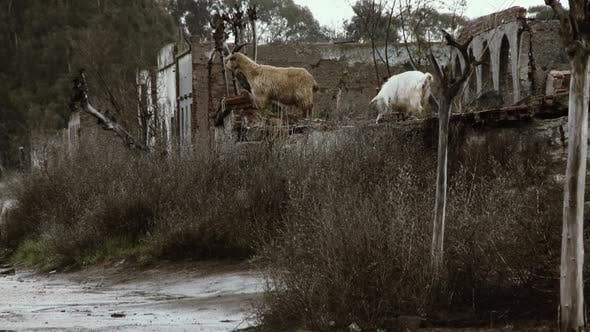 Thumbnail for Goats in a Ghost Town.