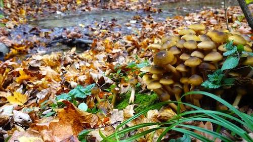 Honey Fungus Mushrooms 5