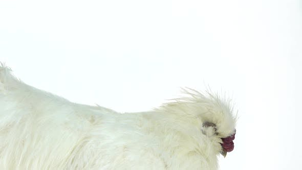 Thumbnail for White Silkie Hen at White Background in Studio