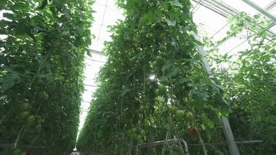 Greenhouse View of Branches with Tomatoes Tunnel View of Grown Tomato and Green Seedling Growing