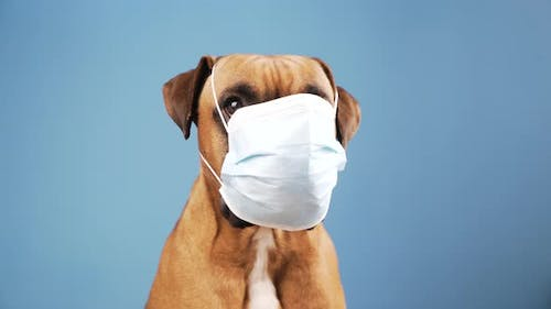 Boxer dog with a flu mask on its snout at blue background