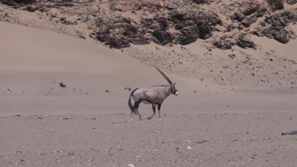 Gemsbok walks on the dry and warm Hoanib Riverbed
