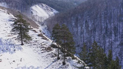 Aerial View of Three Wild Marals Grazing on a Mountain Range with the Krasnoyarsk Nature Reserve