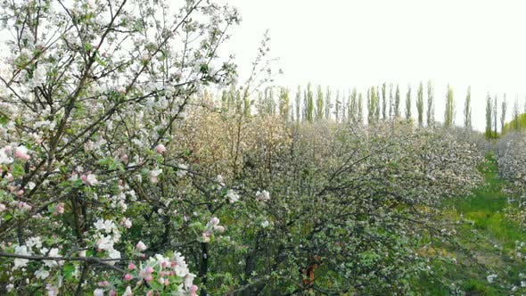 Thumbnail for Aerial View of Blooming Trees in Apple Orchard, Drone Rises Up