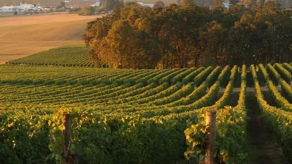Pan across vineyard rows in morning light, Willamette Valley Oregon
