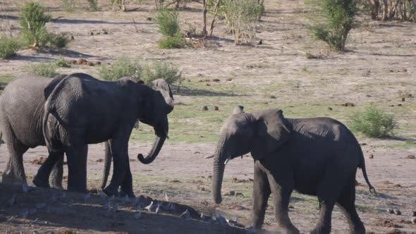 Thumbnail for African Bush elephants afraid of other elephants