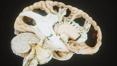 Medical Anotomy of Real Human Brain