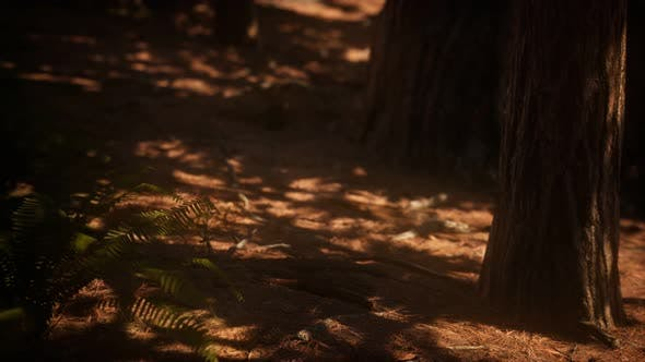 Thumbnail for Frühe Morgensonnenlicht im Mammutbaum von Mariposa Hain