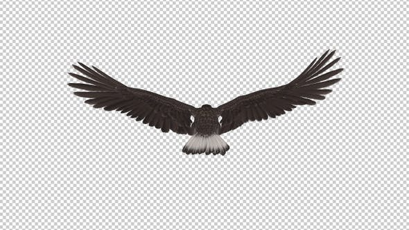 Eurasian White-tailed Eagle - Flying Loop - Back View