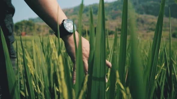 Thumbnail for Cinematic clip of a traveler's hand rubbing against the rice paddy