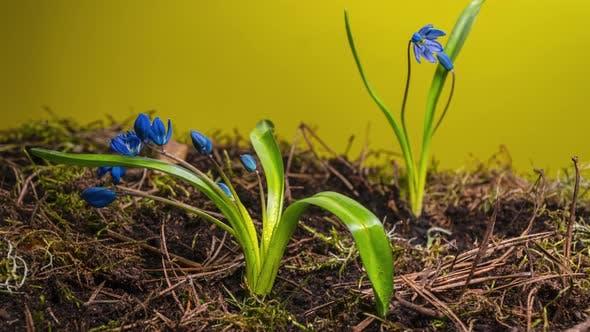 Blue Snowdrop im Frühling