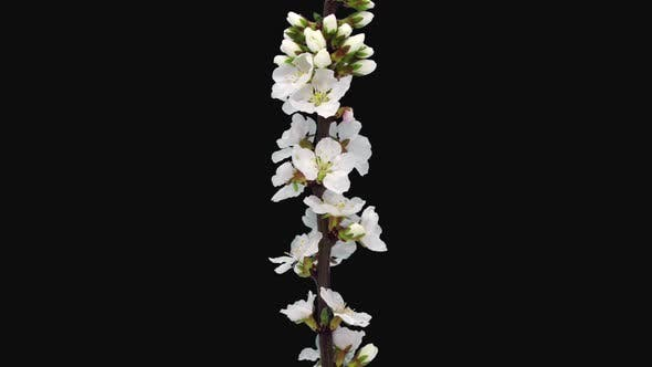 Thumbnail for Time-lapse of blooming Nanking cherry tree branch