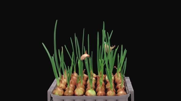Thumbnail for Zeitraffer der wachsenden grünen Zwiebeln