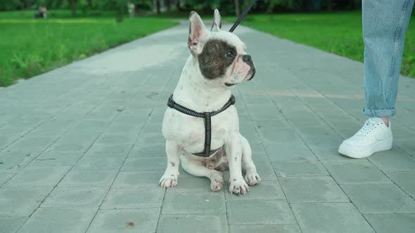 Thumbnail for French Bulldog Sitting on Road in Park.