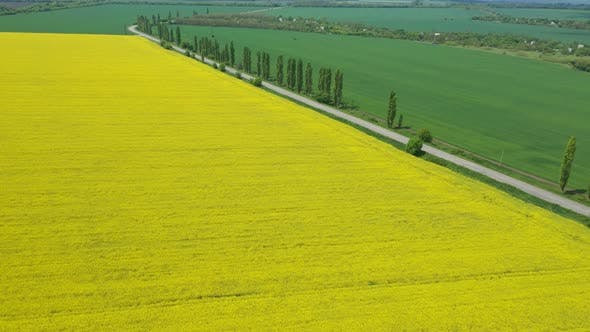 Cover Image for Blooming Rapeseed Field 27