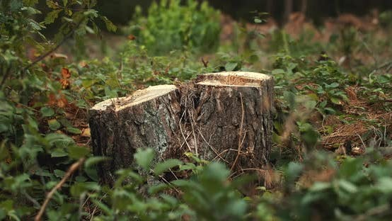 Cover Image for Cutted Pine Trees in Forest