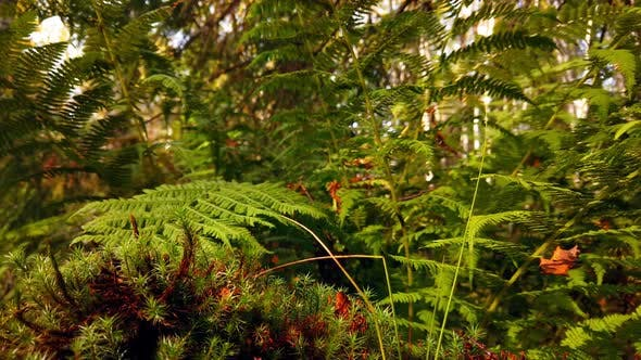 Thumbnail for Growing Fern in a Dense Forest at Sunset