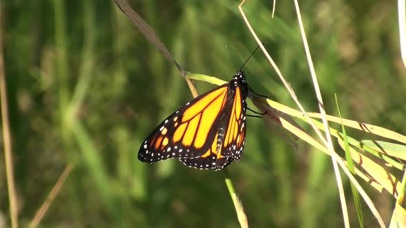 Thumbnail for Monarch Adult Lone Flying Flight in Summer Newly Emerged in South Dakota