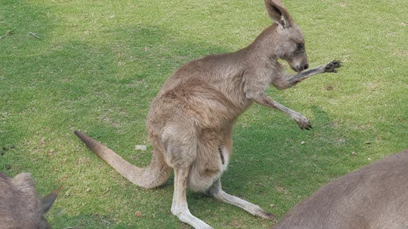 Closeup of Adult Red Kangaroo Scratching Himself at Zoo