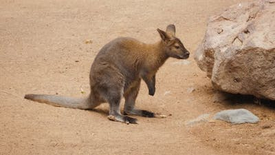 Kangaroos While Looking at You at Sunset in Kangaroo