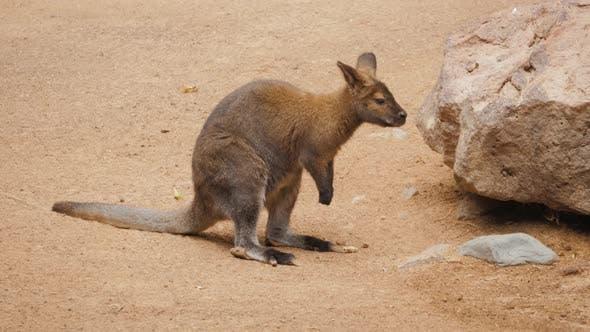 Thumbnail for Kängurus beim Blick auf Sie bei Sonnenuntergang in Känguru